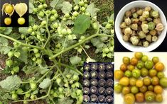Pineapple Ground Cherry Aunt Molly Physalis Pubescens Seeds