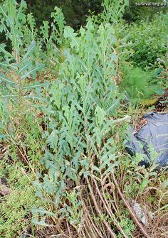 A Woodsrunner's Diary: Wild Edible Foods. Prickly Lettuce.