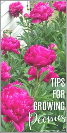 Tips for growing peonies including where to purchase peony plants, where to plant peonies, growth habit, and care of peonies in your garden. garden peonies My Tips for Growing Peonies - Hymns and Verses Buy Peonies, Peonies And Hydrangeas, Purple Peonies, Peonies Garden, Peonies Bouquet, White Peonies, Lilac, Peony Arrangement, Peonies Centerpiece