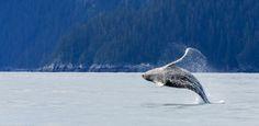 Whale-dancer by Gleb Tarro on 500px Humpback whale breaching at Kenai Fjords national Park, Alaska