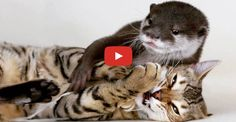 When Sam the Bengal cat met Pip the Otter, no one would have guessed how well they would bond