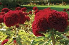 Bright and bold, cockscomb (Celosia argenta) blooms from summer until early fall. The convoluted flower heads have a shape similar to cauliflower. These annual flowers look garish in the wrong ...