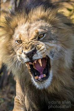 An African Male Lion Releasing a Fierce Roar.