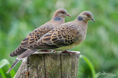 This small species is very similar in plumage to its European counterpart, the turtle dove.…