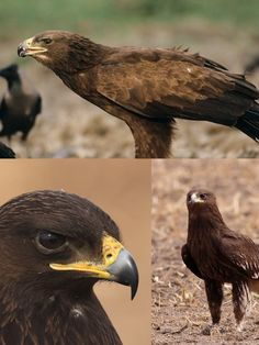 Greater Spotted Eagle (VU) Raptors, Vulnerability, Eagle, Animals, Animales, Animaux, Animal, Animais