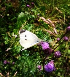 Seria Butterfly, white, spring