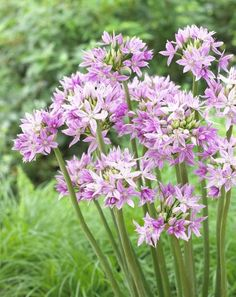 Alliums - Autumn Planting - Bulbs, plants and Summer Flowers, Cut Flowers, Pink Flowers, Spring Flowering Bulbs, Spring Bulbs, Planting Bulbs, Planting Flowers, Easy To Grow Bulbs, Herbaceous Perennials