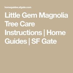 Little Gem Magnolia Tree Care Instructions. Little Gem Magnolia Tree Care Instructions Magnolia Trees For Sale, Little Gem Magnolia Tree, Magnolia Grandiflora Little Gem, Ornamental Pear Tree, Large Plants, Pot Plants, Tree Pruning, Root System, Tree Care