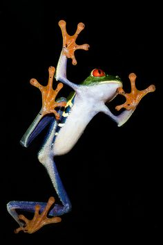 ✿ A Red-eyed Treefrog ~ Agalychnis Callidryas ✿