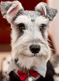 """Schnauzers, the """"dogs with the human brain"""" (as their owners proudly call them) were much used by the army during the war as dispatch carriers and Red Cross aides; they were also employed in Germany in police work.  They originated in Germany in the 15th and 16th centuries, and their name comes from the German word for """"mustache"""" because of the dog's distinctively bearded snout."""