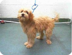Bronx, NY - Shih Tzu/Wheaten Terrier Mix. Meet David, a puppy for adoption. http://www.adoptapet.com/pet/12000078-bronx-new-york-shih-tzu-mix