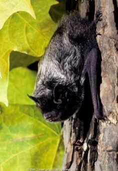 Silver Haired Bat Primates, Mammals, Silver Haired Bat, Nature Pictures, Animal Pictures, All About Bats, Bat Species, Cute Bat, Halloween Pictures