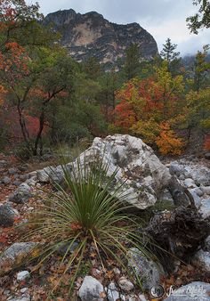 Sotol and maples under the cliffs in McKittrick Canyon, Guadalupe Mountains National Park - Culberson County, Texas