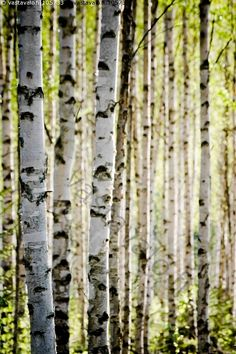 Birch trees, early summer in Finland Finland Destinations, Norwegian Wood, Walk In The Woods, Something Beautiful, Summer Of Love, Natural Wonders, Love Photography, Four Seasons, Amazing Nature