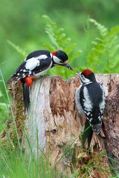 Great Spotted Woodpecker. Credit Da Manne Pretty Birds, Love Birds, Beautiful Birds, Animals Beautiful, Exotic Birds, Colorful Birds, Pic Épeiche, Arte Do Galo, Spotted Woodpecker