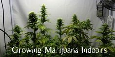 How to Grow Weed Indoors - Everything About Weed