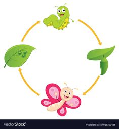 Life cycle of butterfly vector image on VectorStock Butterfly Clip Art, Butterfly Life Cycle, The Very Hungry Caterpillar Activities, Teach English To Kids, Planting For Kids, Animal Classification, Scrapbook Cover, Preschool Bulletin, Sequencing Activities