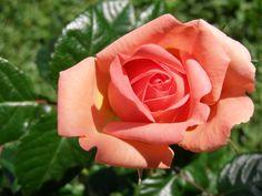 Simplesmente uma rosa