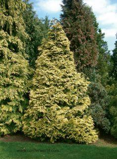 Chamaecyparis lawsoniana Winston Churchill Conifer Trees, Winston Churchill, Garden Plants, Landscaping, Gardening, Lawn And Garden, Landscape Architecture, Landscape, Garden Design