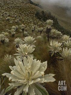Paramo Flower (Espeletia Pycnophylla) in Paramo Habitat, El Angel Reserve, Ecuador Photographic Print by Pete Oxford at Art.com Ecuador, Xeriscaping, Agaves, Dream Garden, Botany, Cacti, Habitats, Find Art, Framed Artwork