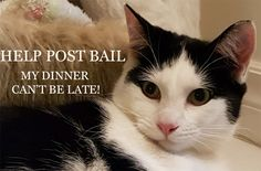 A cat looks up and says Help post bail, my dinner can't be late