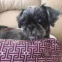 Pictures of Princess Di a Shih Tzu for adoption in St. Louis, MO who needs a loving home.