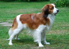 Kooikerhondje (Small Dutch Waterfowl Dog) 11