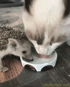 Hedgie & Kitty Sharing