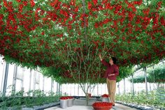 Name: Climbing Tomato Tree Seeds High Quality Seeds Fruit and Vegetable Seeds TOMATO for Home Garden Planting pieces / lot Quantity: 50 pcs Tomato Tree, Tomato Plants, Home Garden Plants, Backyard Garden Design, Patio Plants, Garden Planters, Garden Landscaping, Planting Vegetables, Planting Seeds