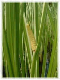 Acorus calamus -Traditional uses include :amnesia, heart palpitations, insomnia, tinnitus, chronic bronchitis, and bronchial asthma.