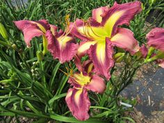 18 best daylilies reddish purple images in 2019 day lilies