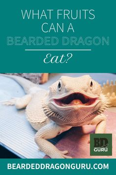 Your beardie will love a small piece of fruit every so often and will see this as a treat. However, as fruits are rich in sugar, ensure you don't overfeed them. Vegetables should still make up a much higher percentage of their diet than fruit. #beardeddragondiet #fruitsforbeardeddragon #foodforbeardeddragon #beardeddragoncare All Fruits, Best Fruits, Bearded Dragon Food List, Reptiles, Sugar, Canning, Vegetables, Eat, Animals