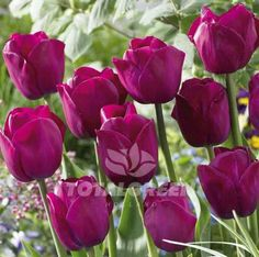 These deep purple Triumph Tulips provide an intense display in your spring garden. This all-round flower combined with our Pim Fortuyn Triumph Tulips creates an extraordinary effect. Variety Triumph T