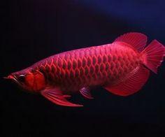導讀:養龍魚的魚友都知道,龍魚要想養好,水質和飼喂是最重要的關鍵。關於龍魚的飼喂可以用日投飼率來衡量,日投飼率可以定義為每天所投餌料量占養殖物件體重的百分數,只有科學定量的飼喂,龍魚才能健康成長。