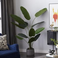 If you're looking to add a tropical feel to any interior. Container is a standard black pot, but plant can be transferred to a more decorative one.