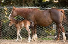 Roxie, pregnant mare rescued from feedlot and her colt Dylan born in April 2014