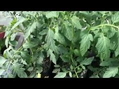 The Amazing Power Of Air Pruning in 1 Gallon Root Pouch Grow Bags! Container Gardening, Gardening Tips, Self Watering Plants, Grow Bags, Water Plants, Pouch, Herbs, Amazing, Youtube