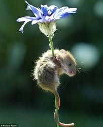 Mouse with cornflower