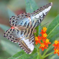 Lee CrockerMacro Photography Clipper Butterfly