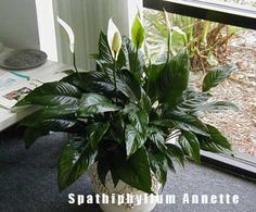 The peace lily comes is roughly 3 sizes - small, medium & large. Each have their own unique place as an indoor house plant. Spathiphyllum 'Annette' TM is