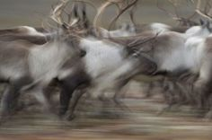 Wildlife photographer Vincent Munier Wildlife Photography, Animal Photography, Munier, French Photographers, Natural History, Architecture Art, Reindeer, Photo Art, Cool Pictures