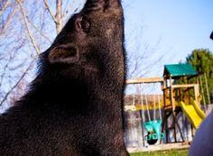 976085_464202707003342_2077571665_o Miniature Pigs, Mini Pig, Training, American, Cute, Animals, Coaching, Animais, Animales