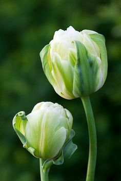 [tulip 'Double Maureen', apparently comes back years after planting; available from Sarah Raven]