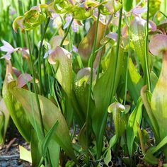 How to grow a 'killer' garden. Make your own carnivorous plant bog!