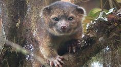 Olinguito - New animal species found