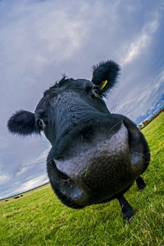 Cow Beast - Fisheye photo of a cow on the Town Moor in Newcastle upon Tyne