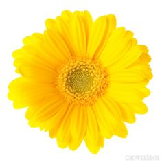 GrowersBox.com: Flowers: Mini-Gerbera Daisies Yellow 116 Stems: Wholesale Flowers