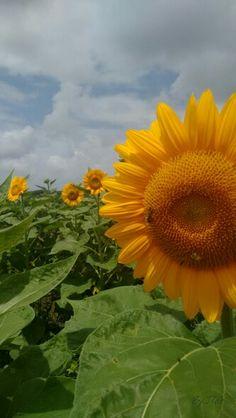 #Sunflower #Guanica #PuertoRico #PR #photography #BYJQG Puerto Rico, Plants, Photography, Fotografia, Fotografie, Puerto Ricans, Photo Shoot, Planters, Plant