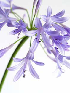 agapanthus aka african lily or lily of the nile. Peak May - August.