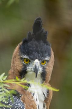Ornate hawk #eagle with an ornate hairdo.